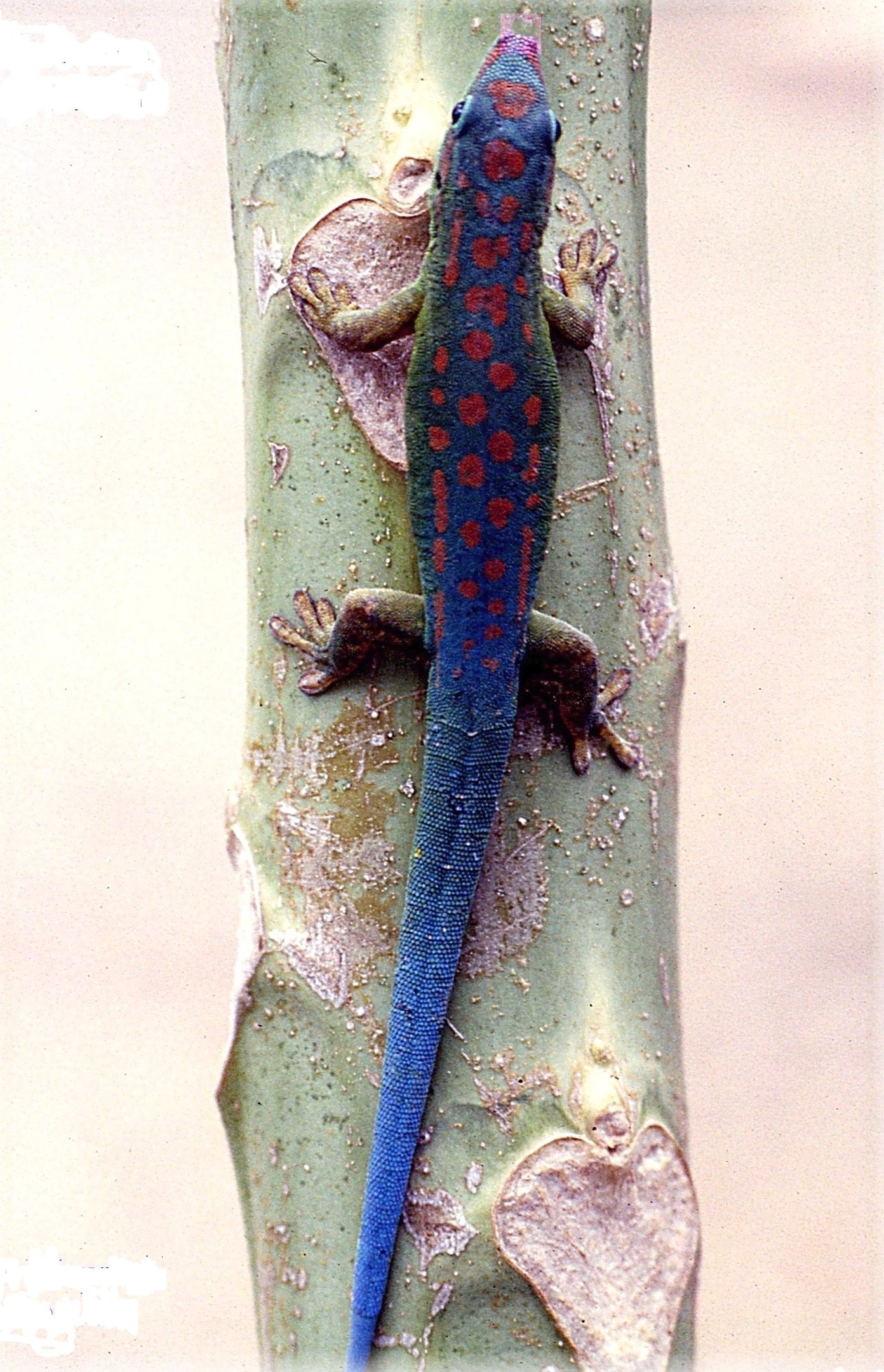 Blue-Tailed Day Gecko