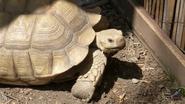 Utica Zoo Tortoise