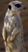 CITIRWN Meerkat