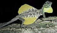 Draco-volans-flying-dragon-yellow