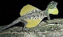 Draco Lizard.jpg