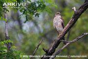 Eurasian-sparrowhawk-perched-on-branch.jpg