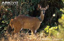 Female-bushbuck-stood-amongst-vegetation.jpg