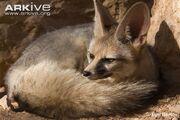 Fox, Blanford's.jpg