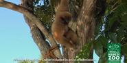 Naples Zoo Lar Gibbon