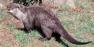Otter, Cape Clawless