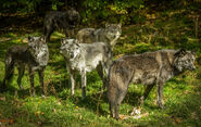 Pack of Eastern Wolves