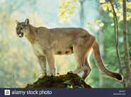 Queen Cougar