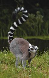 Ring tailed lemur v1.jpg
