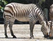 Virginia Zoo Zebra V2
