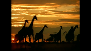 WAET Giraffes