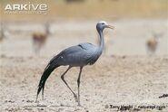 Blue-crane-in-arid-habitat