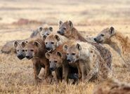 Clan of Spotted Hyenas