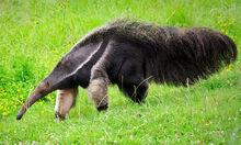 Img anteater mw large.jpg