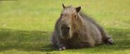 Kapybara top desktop