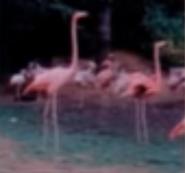 SPBLU Flamingos