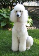 Standard White Poodle
