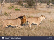 Transvaal Lion and Lioness