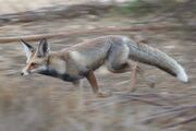 Arabian Red Fox2.jpg