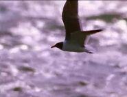 BEBDNA Black-Headed Gull