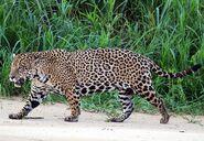 JaguarImage