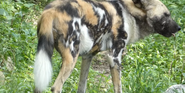Lincon Park Zoo Wild Dog