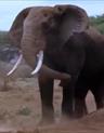 MATG African Bush Elephant
