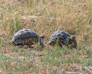 Male and Female Leopard Tortoises