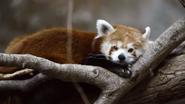 Minnesota Zoo Red Panda