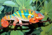Panther Chameleon (V2).jpg