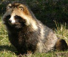 Raccoon-dog-nice-coat.jpg