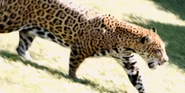 Saint Louis Zoo Jaguar