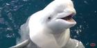 Shedd Aquarium Beluga