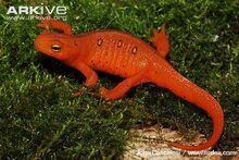 Terrestrial-red-eft-form-of-eastern-newt.jpg