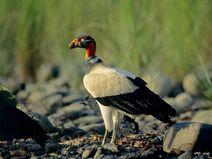 Vulture, King.jpg