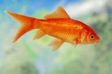 130952-847x567r1-Ordinary-goldfish.jpg