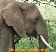 Another ElephantVoice