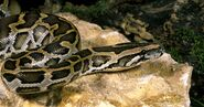 Biggest-Snakes -The-Indian-Python