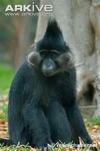 Black Crested Mangabey
