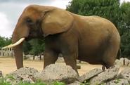 Clochester Zoo Elephant