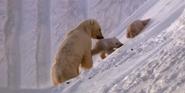 Earth 2009 Polar Bears