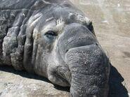 Elephantseal Nose