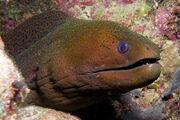 Giant Moray Eel.jpg