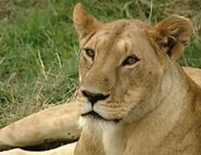 HugoSafari - Lion05