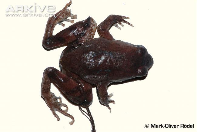 Phrynobatrachus intermedius