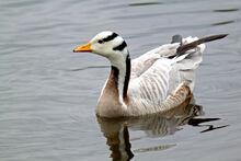 Large-Ba-Headed-Goose-water-bird-pictures.jpg