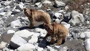 Male and female Himalayan brown bears