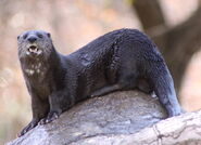 Otter, Spotted-Necked