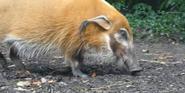 Saint Louis Zoo Red River Hog