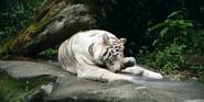 Singapore Zoo White Tiger